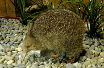 ニュージーランドの国鳥キウイ