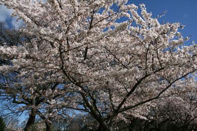 クライストチャーチは桜が満開