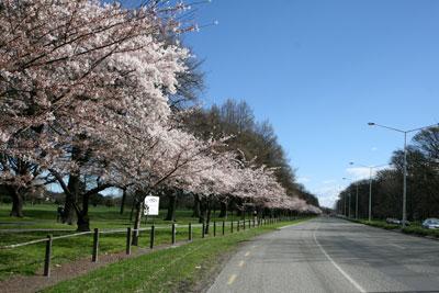 ハグレーパークの桜並木